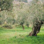 Dogma Gourmet - Kalamata extra virgin olive oil - Harvest