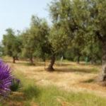Dogma Gourmet - Kalamata extra virgin olive oil - Orchards
